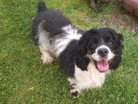 We have to rehome our black/white Cocker Spaniel, Betty