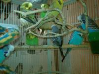 we just got in some adult budgies.we have males and