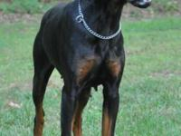Doberman Pinscher - signed up AKC and CKC. Very sweet