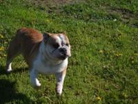 Nadia  A Red/white, 44ibs, spayed English bulldog. She