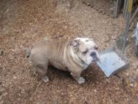 AKC English Bulldog. Adult female. Her name is Vanessa,