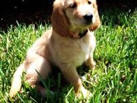 This is a beautiful female golden retriever she is 3