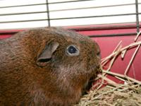 I have an adult guinea pig looking for a new home. We