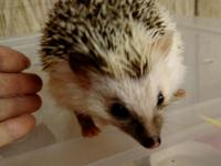 We have a few female hedgehogs, 12-16 months, good PET
