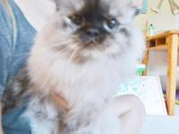 7 year old Adult Female Himalayan. A gorgeous Tortie