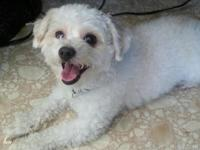 Sweet 6 yr old mini poodle for sale. Does best with