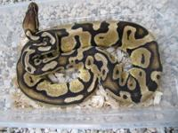 Beautiful Adult Female Pastel Ball Python for sale.