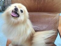 Pretty female Pom needs a new home. She is not able to