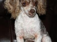 5 yr old chocolate and white toy Poodle lap woman. She