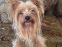 I have 1 adult female yorkie available to a great