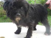 I have 2 female yorkipoo one silver,one black both 2 yr