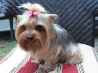 Hello, i have a Adult female Yorkie she is aprox 5