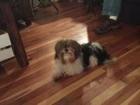 He is a four lb bewier Yorkie male. Four years old and