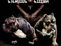 micro american bully for sale (steroids x gizzma) *top