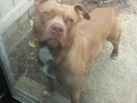 Male pit about 4 years old needs a good home. Good with