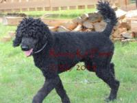 Clove is our wonderful jet black standard poodle sire.
