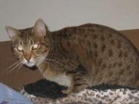 Flower is a chocolate spotted female Ocicat. She has