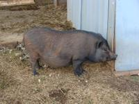I have two 5 yr. old pet pigs that I need to rehome