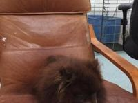 Adult Pomeranian needs to be rehomed. He can not breed