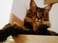 Adult cat Pure Maine Coon Breed looking for a Pure