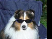 I have some of my Adult Shelties Available for Loving