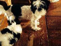 Maci is an AKC signed up Shih Tzu. She was born Sept 8,