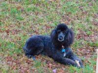 Female Standard Poodle spayed, great at walking on