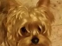 adult tea cup yorkie male, 2 years old, healthy,
