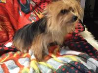Adult Yorkie female Rehoming fee $200 No kids Loves