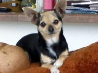 Stunning Chihuahua Adults offered for totally free and