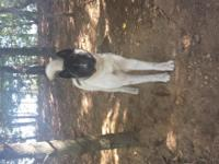 I have a 1and a 1/2 year old male Akita for sale. We