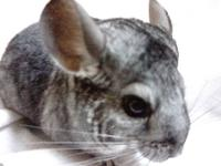 I have an older male chinchilla available, he's about 5