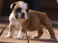 aedsrs registered English Bulldog puppies for new