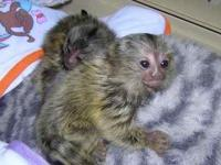 We have Male and female marmoset monkeys available, we