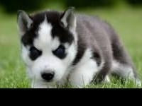 Extremely cute Siberian Husky puppies for free