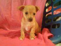 Purebred Chihuahua Very affectionate fawn & white