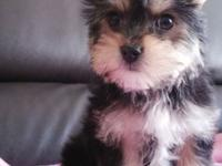 Affectionate home raised yorkie puppies for good homes,