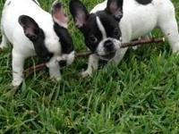 Here we have for sale a fantastic litter of blue French