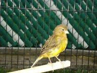 We have many green canaries available now for a very