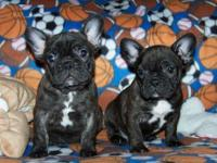 We have Come Cute and adorable French Bulldog puppies