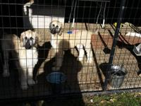 Two female Afghan hound puppies 6 months old all shots