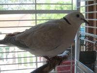2 for $60. Beautiful African Barbary Coast Doves, also