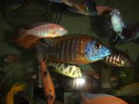 have a bunch of African cichlids from 2.5 inches to 5