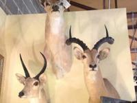African Deer Backdrop Wall 6' Tall x 6' Wide Great Man