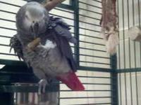 Hi there I am having to sell my 6 year old African grey