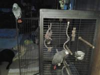 Two African Gray Parrots. 51/2 yrs. old, feed healthy