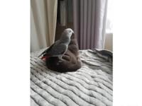 A lovely and child friendly African grey 10 months old
