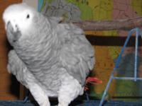 23 years of age African Grey in complete feather. He is