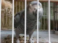 Male african grey talks very well waves his foot n says