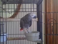 African Grey for sale including bird cage - $800 or BO.